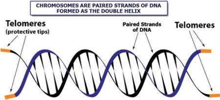 telomere-diagram